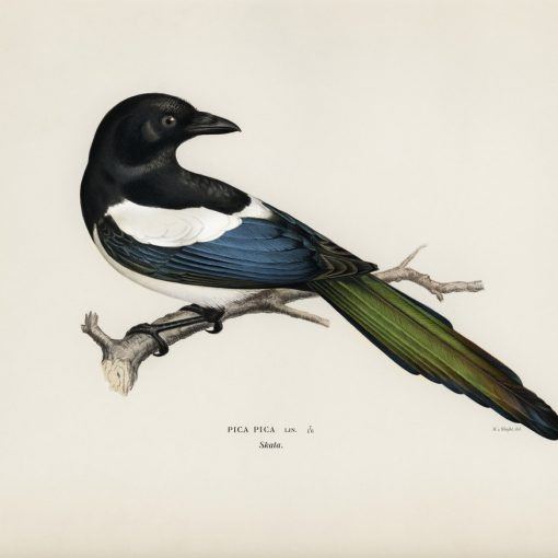 Magpie engraving